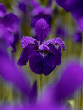 Iris is at number 3 of most beautiful flowers