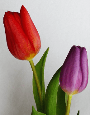 Tulips is the number two beautifull flowers